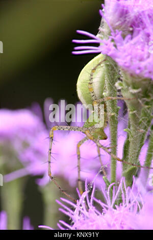 Aggressive Green Lynx spider in camouflage on the green stems of a bright purple paintbrush - Stock Photo