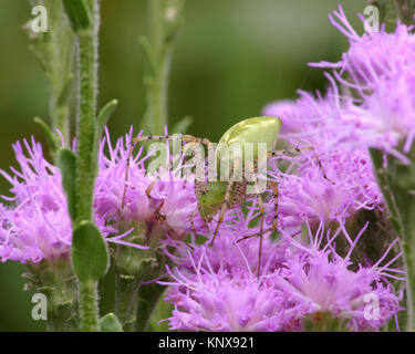 Green Lynx spider likes to camouflage it'self in plants while hunting for large insects - Stock Photo