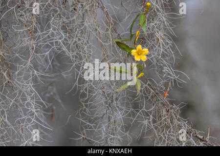 Yellow Jessamine (Gelsemium sempervirens) in Congaree National Park, South Carolina, blooming amid Spanish Moss. - Stock Photo
