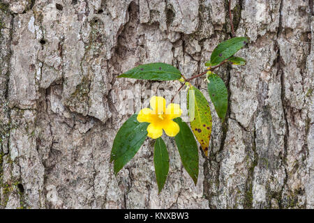 Yellow Jessamine in full bloom on oak in Congaree National Park, South Carolina.  This vine is the state flower - Stock Photo