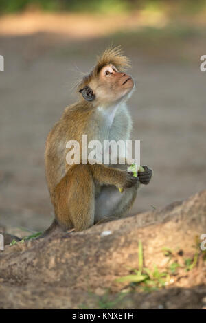 Toque Macaque (Macaca sinica) - Stock Photo