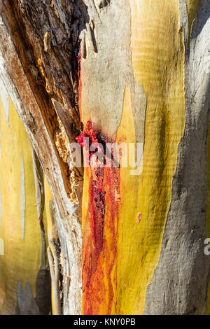 Red gum weeping from a wound on the green trunk of a Snow Gum tree (Eucalyptus pauciflora) near the Thredbo River - Stock Photo