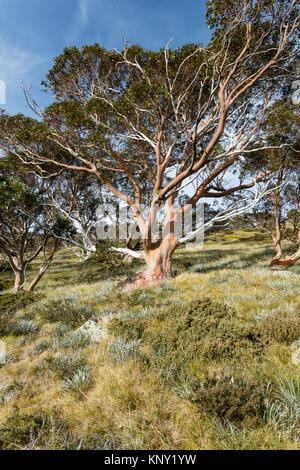 Snow Gum tree (Eucalyptus pauciflora) in autumn near the track to the Snowy River from  Charlotte Pass in Kosciuszko - Stock Photo