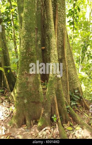 Buttress Roots of Trees in the high jungle Henri Pittier National Park Venezuela - Stock Photo
