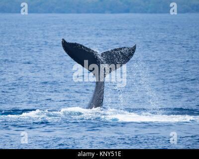 Maui Humpback Whale Tail Slap. - Stock Photo