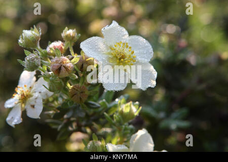 silverweed with drops of morning dew - Stock Photo
