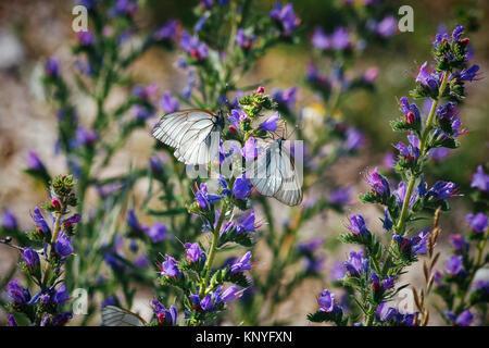 Butterflies on a violet flower - Stock Photo
