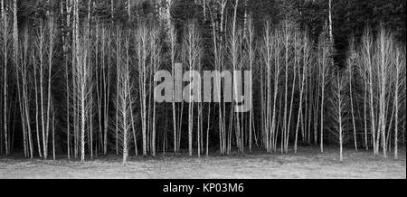 Leaveless Aspen Trees at Kaibab National Forest, Arizona. - Stock Photo