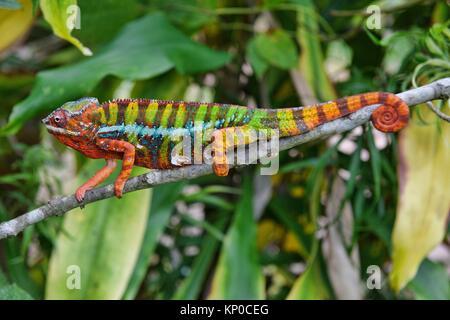 Colourful Panther chameleon (Furcifer pardalis), Andasibe-Mantadia National Park, Madagascar. - Stock Photo