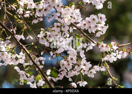 Spring cherry blossom festival in Jinhei, Korea - Stock Photo