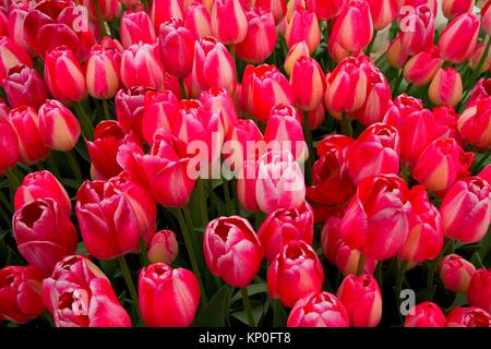 Tulips, Wooden Shoe Bulb Co. , Clackamas County, Oregon. - Stock Photo