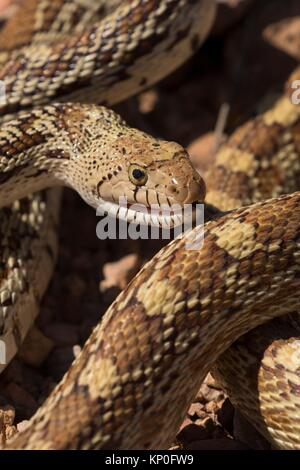 Gopher snake, Organ Pipe Cactus National Monument, Arizona. - Stock Photo
