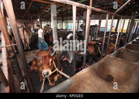 A busy cattle market in Dhaka city, on the eve of Eid-ul-Adha, the annual Muslim festival that commemorates the - Stock Photo