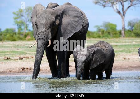 African elephant mother and calf (Loxodonta africana) drinking at a watehole. Hwange National Park, Zimbabwe. - Stock Photo