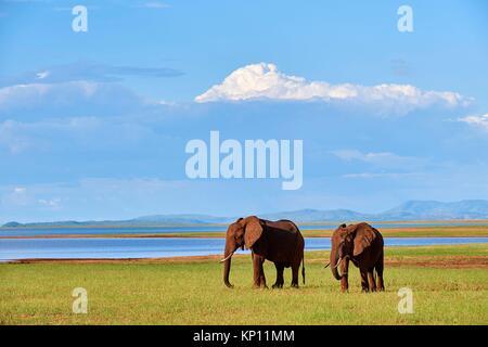 African elephants (loxodonta africana) grazing on shore of Lake Kariba. Matusadona National Park, Zimbabwe.