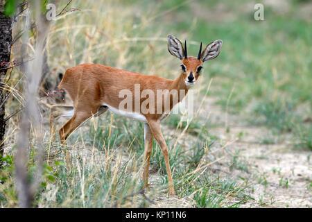 Steenbok male (Raphicerus campestris) Hwange National Park, Zimbabwe. - Stock Photo