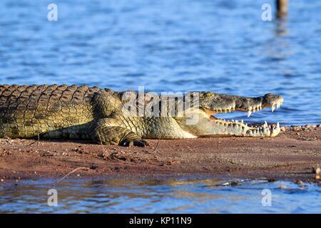 Nile crocodile (Crocodylus niloticus) resting on the banks of Lake Kariba with its jaw open. Matusadona National - Stock Photo