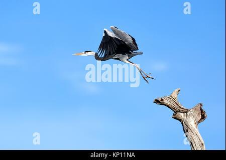 Grey heron (Ardea cinerea) taking flight from dead branch. Lake Kariba. Matusadona National Park, Zimbabwe. - Stock Photo