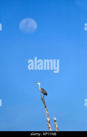 Grey heron (Ardea cinerea) perched on dead branch with moon in the background. Lake Kariba, Matusadona National - Stock Photo