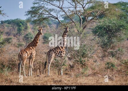 Rothschild's giraffe (Giraffa camelopardalis rothschildi) in Murchisson Falls National Park, Uganda. - Stock Photo
