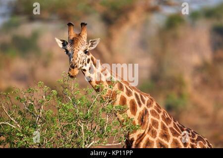 Rothschild's giraffe (Giraffa camelopardalis rothschildi) feeding on acacia tree in Murchisson Falls National Park, - Stock Photo