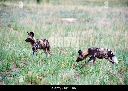 Two African wild dogs (Lycaon pictus) walking in savanna. Hwange National Park, Zimbabwe. - Stock Photo