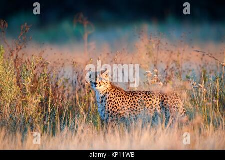 Cheetah male (Acinonyx jubatus) in morning light. Moremi National Park, Okavango delta, Botswana, Southern Africa. - Stock Photo