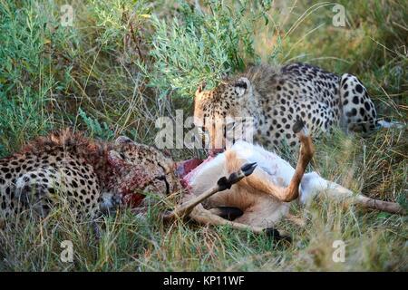 Two Cheetah male (Acinonyx jubatus) feeding on impala prey (Aepyceros melampus). Moremi National Park, Okavango - Stock Photo