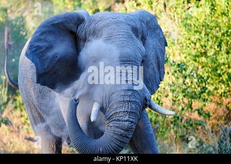 African elephant bull spraying dust on injured eye to minimize fly annoyance (Loxodonta africana), Moremi National - Stock Photo