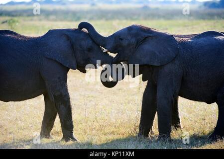 Two African elephant juveniles sparring (Loxodonta africana), Duba Plains, Okavango Delta, Botswana, Southern Africa. - Stock Photo