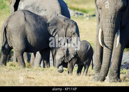 African elephant family with mother and young calf (Loxodonta africana), Duba Plains, Okavango Delta, Botswana, Southern Africa.