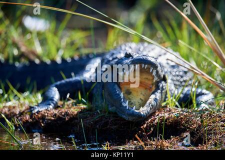 Nile crocodile (Crocodylus niloticus) resting with mouth open to regulate body temperature. Moremi National Park, - Stock Photo