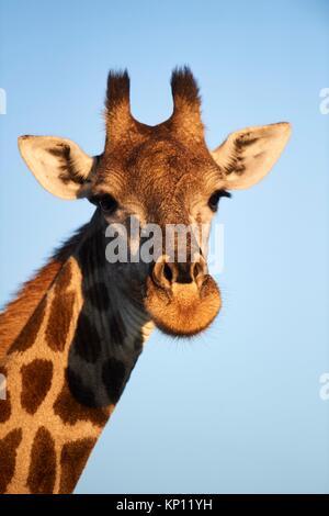 Giraffe portrait (Giraffa camelopardalis angolensis). Moremi National Park, Okavango Delta, Botswana, Southern Africa. - Stock Photo
