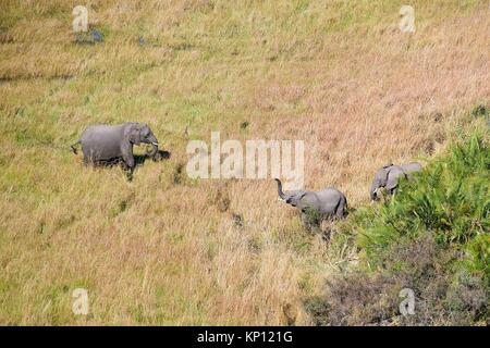 Aerial view of African elephants (Loxodonta africana) wading through the swamp, a calf is greeting, Okavango delta, - Stock Photo
