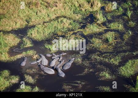 Aerial view of hippopotamus (Hippopotamus amphibius) group cooling in a lagoon, Okavango Delta swamp, Botswana, - Stock Photo