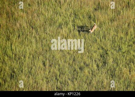 Aerial view of Lechwe (Kobus leche) jumping, Okavango Delta, Botswana, Africa. - Stock Photo