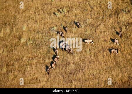Aerial view of blue wildebeest herd grazing (Connochaetes taurinus), Okavango Delta, Botswana, Africa. - Stock Photo
