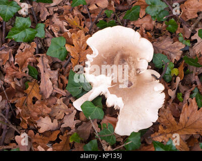 large white capped mushroom on forest floor autumn; essex; england; uk - Stock Photo