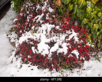 snow on red berry bush outside on floor winter; essex; england; uk