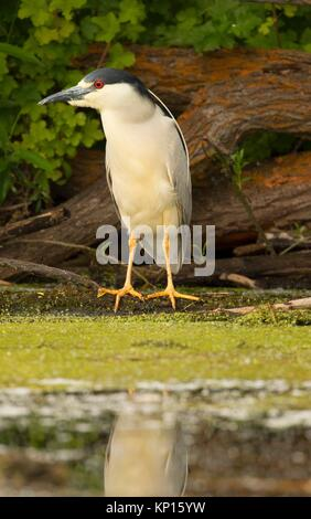 Black-crowned night-heron (Nycticorax nycticorax), Wood River Wetland, Klamath Falls District Bureau of Land Management, - Stock Photo