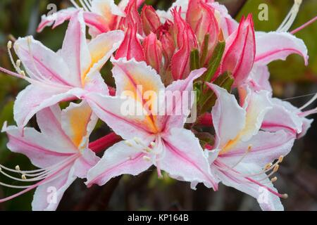 Western azalea (Rhododendron occidentale), Otter Point State Park, Oregon. - Stock Photo