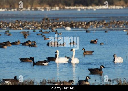 Canada geese (Branta canadensis) and tundra swans at McFadden Marsh, William Finley National Wildlife Refuge, Oregon. - Stock Photo