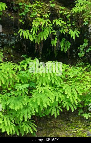 Five-fingered fern along the Lewis River Trail, Gifford Pinchot National Forest, Washington. - Stock Photo