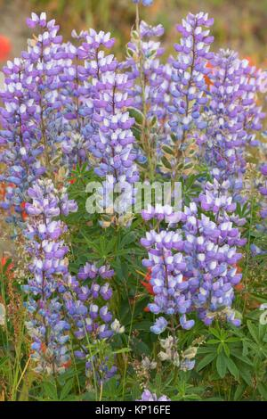 Lupine at Loowit Viewpoint, Spirit Lake Memorial Highway, Mt St Helens National Volcanic Monument, Washington. - Stock Photo