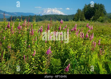 Spirea with Mt St Helens along Silver Lake Wetland Haven Trail, Seaquest State Park, Washington. - Stock Photo