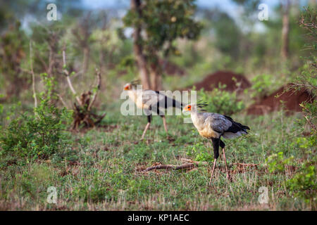 Secretary bird in Kruger national park, South Africa ; Specie Sagittarius serpentarius family of Sagittariidae - Stock Photo