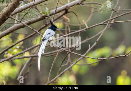 A Indian paradise flycatcher, white morph - Stock Photo