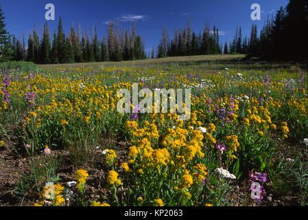 Wildflower meadow, Cedar Breaks National Monument, Cedar Breaks Scenic Byway, Utah. - Stock Photo