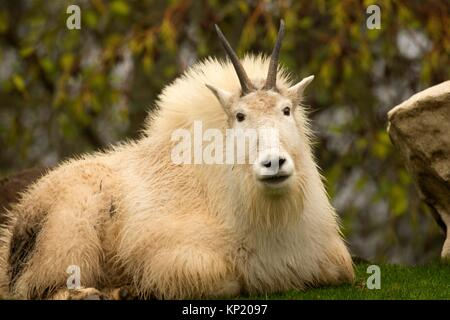 Mountain goat (Oreamnos americanus), Oregon Zoo, Washington Park, Portland, Oregon. - Stock Photo