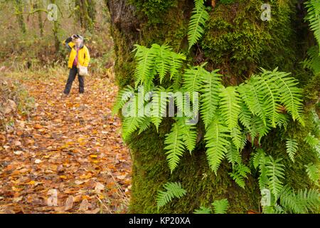 Birder by licorice ferns (Polypodium glycyrrhiza) along Warrior Rock Trail, Sauvie Island Wildlife Area, Oregon. - Stock Photo